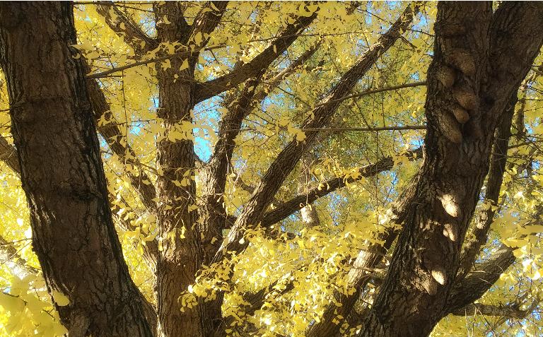 近所のイチョウの木